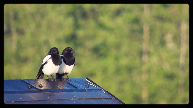Two-for-Joy-Irish-Magpies